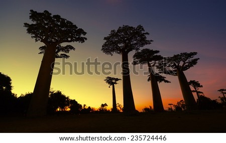 Baobab trees at sunset. Madagascar - stock photo