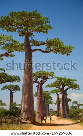 Baobab trees on a dry land and blue clear sky. Madagascar - stock photo