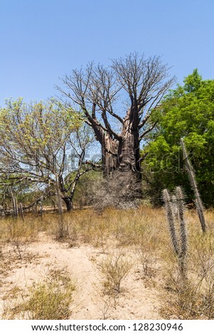 Baobabs and dry vegetation of south western Madagascar - stock photo