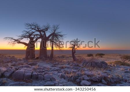 Baobabs at Kubu Island before sunrise - stock photo