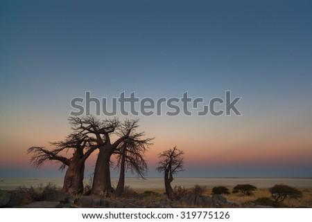 Baobabs at sunset - stock photo