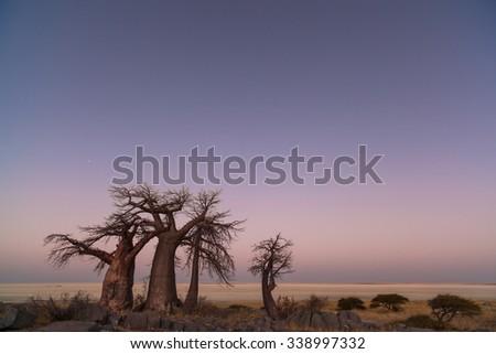 Baobabs before sunrise - stock photo