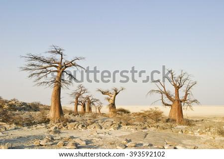 Baobabs on Kubu Island in the south west of Sowa Pan, Makgadikgadi pans, Botswana, Africa - stock photo