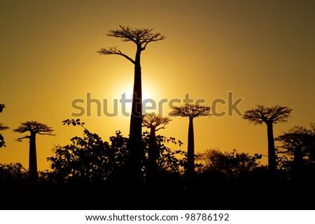 baobabs sunset - stock photo
