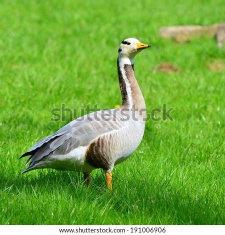 bar-headed goose - stock photo