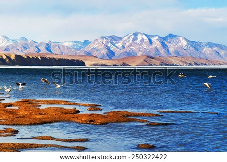Bar-headed goose flying off at Manasarovar lake in Western Tibet. The bar-headed goose is a goose that breeds in Central Asia in colonies of thousands near mountain lakes and winters in South Asia. - stock photo