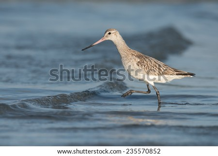 Bar-tailed Godwit (Limosa lapponica) striding over a small wave - stock photo