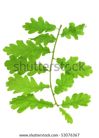 barb od oak tree - stock photo