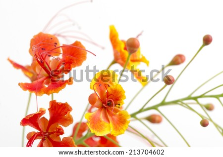 Barbados Pride, peacock Flower (Caesalpinia pulcherrima (L.) Sw.) On white background.  - stock photo