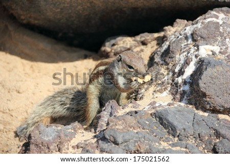 Barbary ground squirrel, Fuerteventura, Canary Islands.