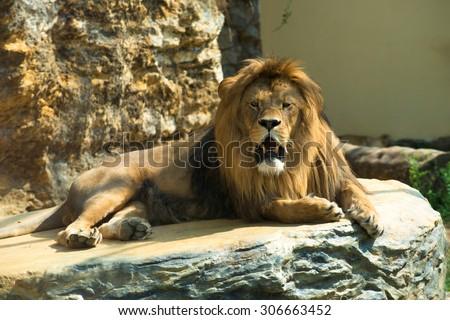 Barbary lion (Panthera leo leo), also known as the Atlas lion. Wildlife animal. - stock photo