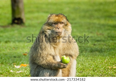 Barbary Macaque eating an apple in open field at monkey forest zoo in Trentham zoo Stoke on Trent Staffordshire England. - stock photo