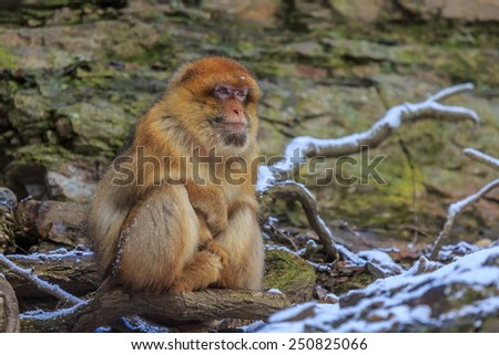 Barbary macaque in the snowy scenery - stock photo