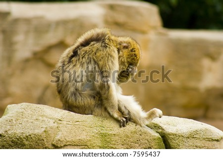 barbary macaque sitting on rock covering his eyes - stock photo