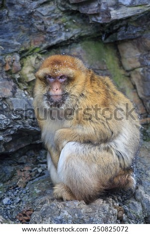 Barbary macaque sitting on the rocks - stock photo