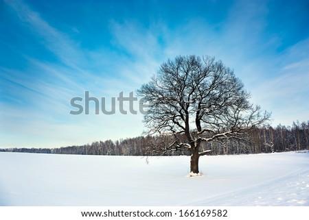 Bare Oak Tree in the Snowy Field. Winter Landscape with Copy Space. - stock photo