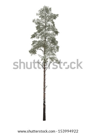 Bare pine-tree isolated over white background - stock photo