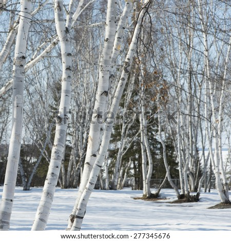 Bare trees on a snow covered landscape, Riverton, Hecla Grindstone Provincial Park, Manitoba, Canada - stock photo