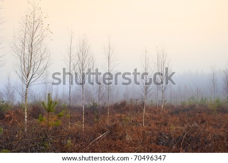 bare young birch trees in mist, november - stock photo