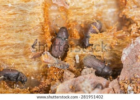 Bark beetles working on wood - stock photo