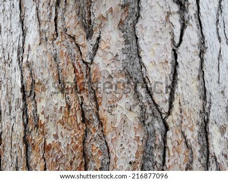 Bark of pine tree trunk texture background. - stock photo