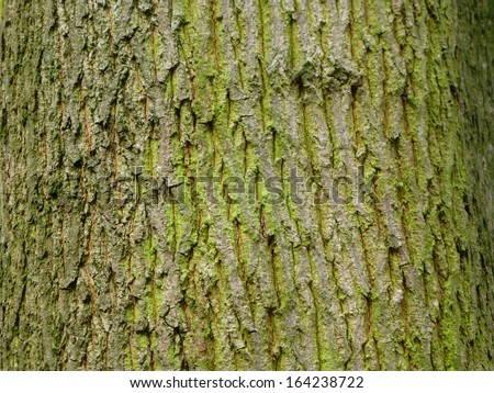Bark of the oak tree. An oak is a tree or shrub in the genus Quercus  - stock photo