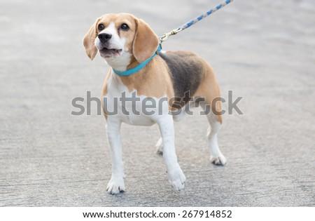 barking beagle dog - stock photo