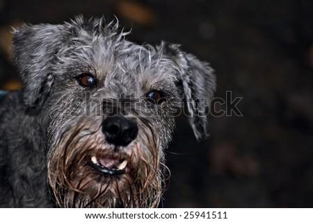 Barking dog - stock photo