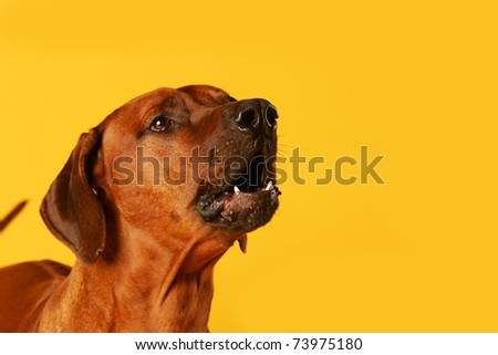 barking dog isolated on yellow studio background - stock photo