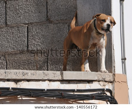 barking growling pit bull over an unfinished construction - stock photo