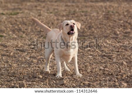 Barking labrador - dog - stock photo