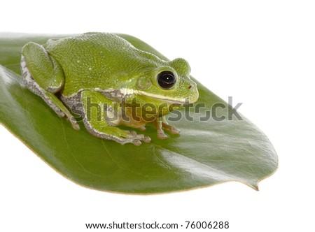 Barking Tree Frog on Magnolia Leaf - stock photo