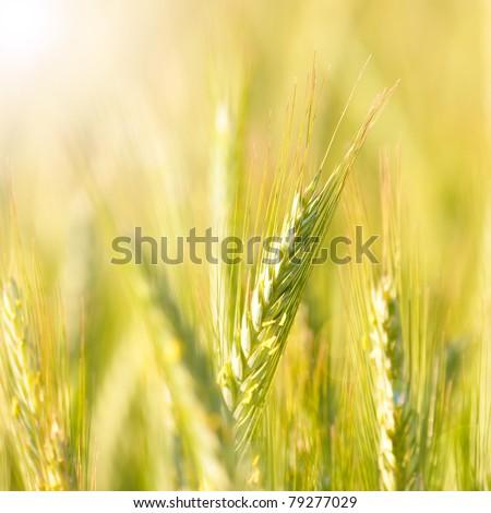 barley - stock photo