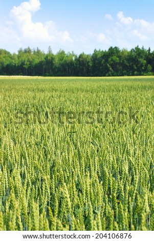Barley and wheat meadow in summer - stock photo