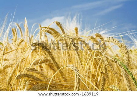 Barley ears ground view - stock photo