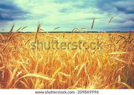 Barley Ears In Summer. Toned Like Instant Photo - stock photo