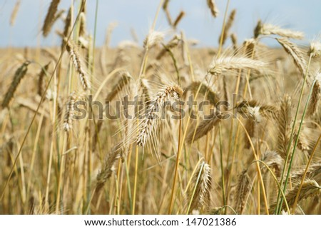 barley field / agriculture - stock photo