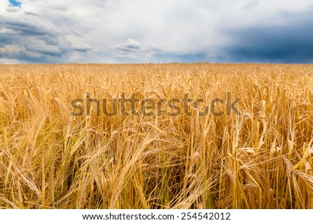 Barley field before the storm - stock photo