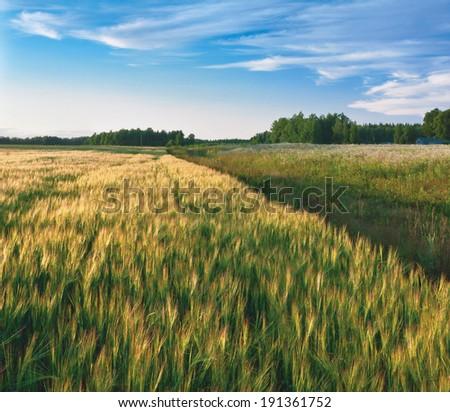 Barley field in evening. Kaluga region of Russia - stock photo
