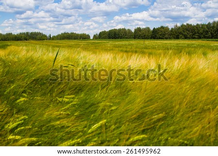 Barley field in front of the wood. Sunny summer day.