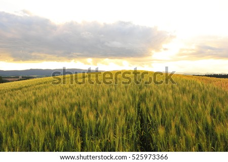 Barley Field in Sunset