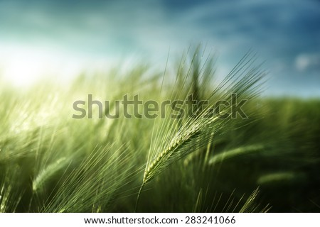 barley field in sunset time - stock photo