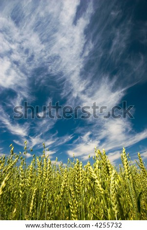 Barley field with cloudy sky
