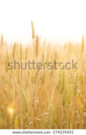 barley field with morning sunshine