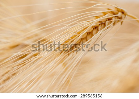 Barley grain is used for flour, barley bread, barley beer, some whiskeys, some vodkas, and animal fodder. - stock photo
