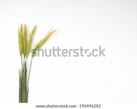 Barley heads on white background