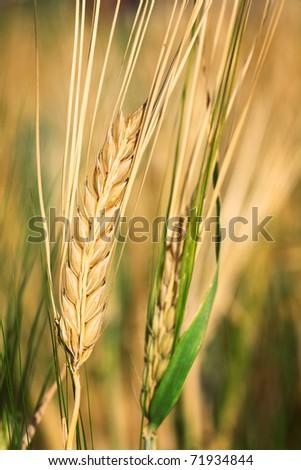 Barley in field. - stock photo