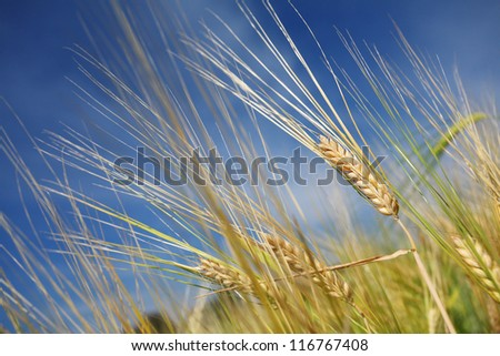 Barley in field with blue sky.