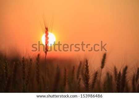 barley in warm sky - stock photo