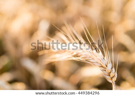 Barley - one shining golden ear of corn on barley field - summer background - very shallow depth of field - stock photo